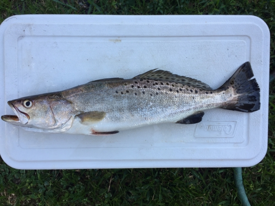 Spotted Seatrout caught at Jacksonville Beach Oct 14 2017
