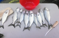Jax Beach - Surf Fishing Report - Aug 30 2014