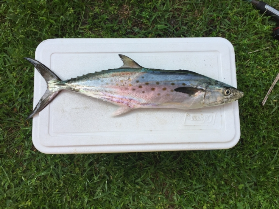 Spanish Mackerel caught at Jacksonville Beach Sept 4, 2017