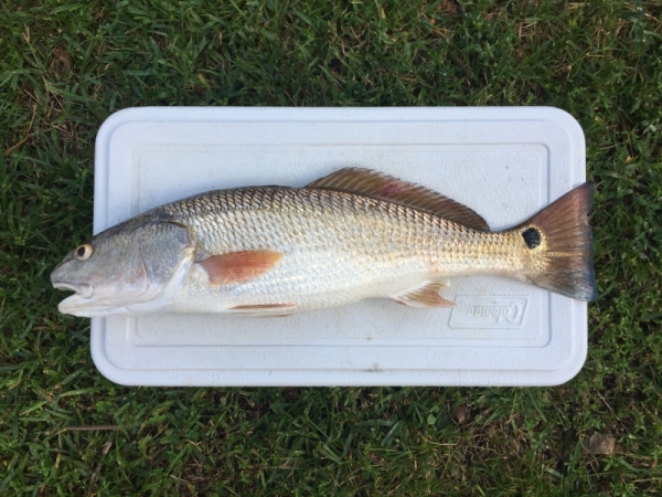 Red Drum caught at Jacksonville Beach Sept 23 2017