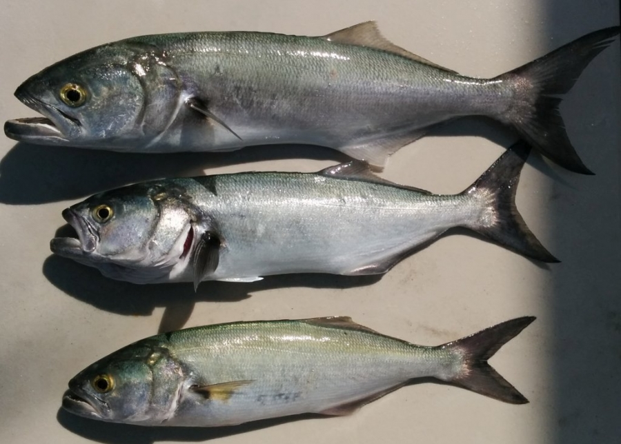 3 bluefish - the smallest is just over 12 inches long